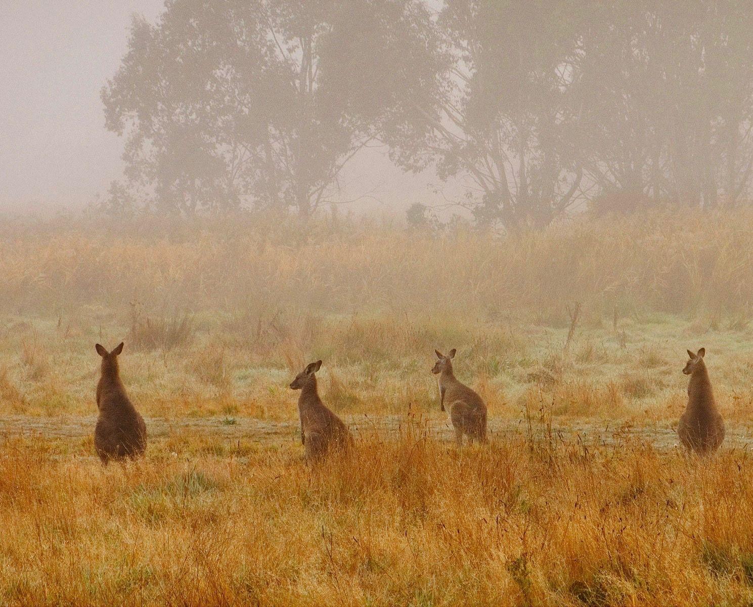 Eastern Grey Kangaroos Dog insurance, Dog training near