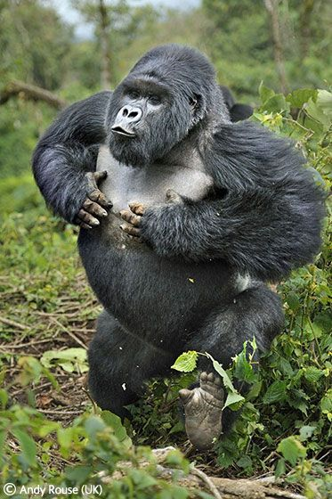 Akarevuro, a young male mountain gorilla, charges in Volcanoes National Park, Rwanda.