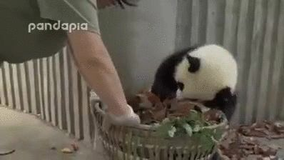 Caring for Pandas is like looking after a drunk person. - more at megacutie.co.uk
