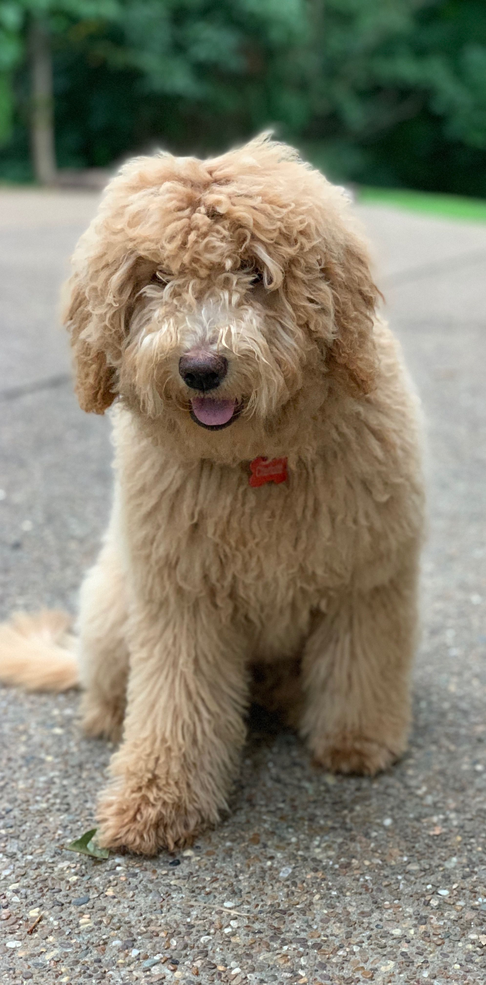 Apricot Mini Goldendoodle From Reddy Poodles Doodles
