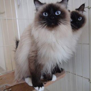 兵庫県の猫 バーマン 里親募集情報です バーマン メス 2歳 姉妹 募集番号 132298 猫 バーマン 里親