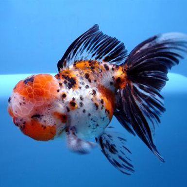 Pin On Goldfish 3