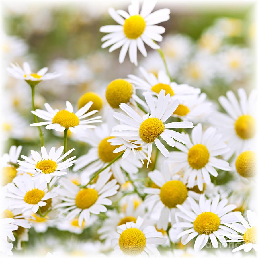 Chamomile flowers flores daisies pinterest flowers and plants type of flowers chamomile chamomile or camomile is a common name for several daisy like plants of the family asteraceaeese plants a izmirmasajfo