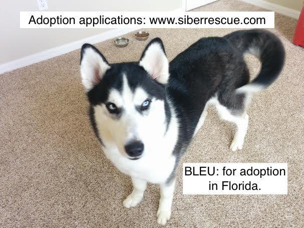 Tampabay Fl Beautiful Siberian Husky Bleu For Adoption Www