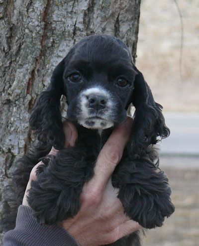 I Bet This Is What Baby Missy Looked Like Spaniel Breeds American Cocker Spaniel Cocker Spaniel