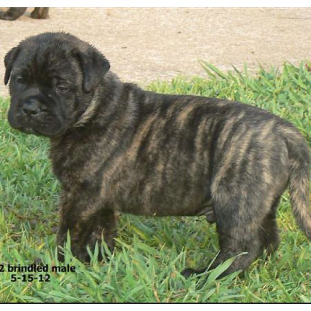 Brindle English Bullmastiff Puppy Adorable Pinterest Dogs