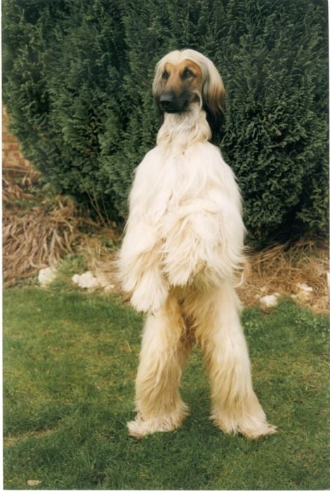 Dog Or Yeti 2 Of 2 Dogs Afghan Hound Baby Dogs
