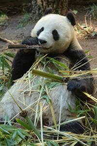 Dampf Panda 200x300 Dampfen Wie Die Pandas Bambus Schnur