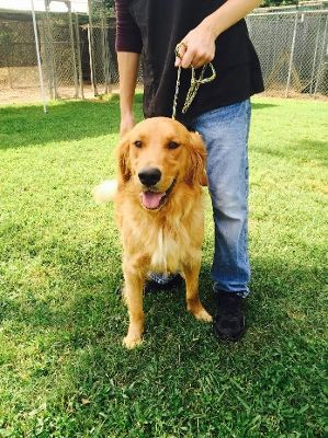 Pin By Carrie Ritter Gilman On Aminals Golden Retriever Rescue