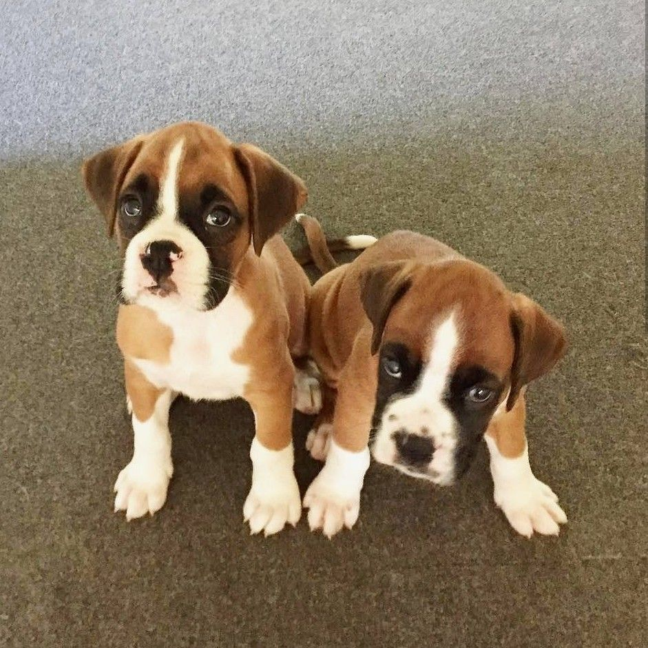 Boxer Pups So Cute Boxer Puppies Boxer Dogs Boxer