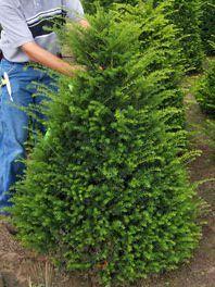 Upright Yew Shrub Capitata Japanese Yew Yew Shrub Farmhouse Landscaping Shade Plants