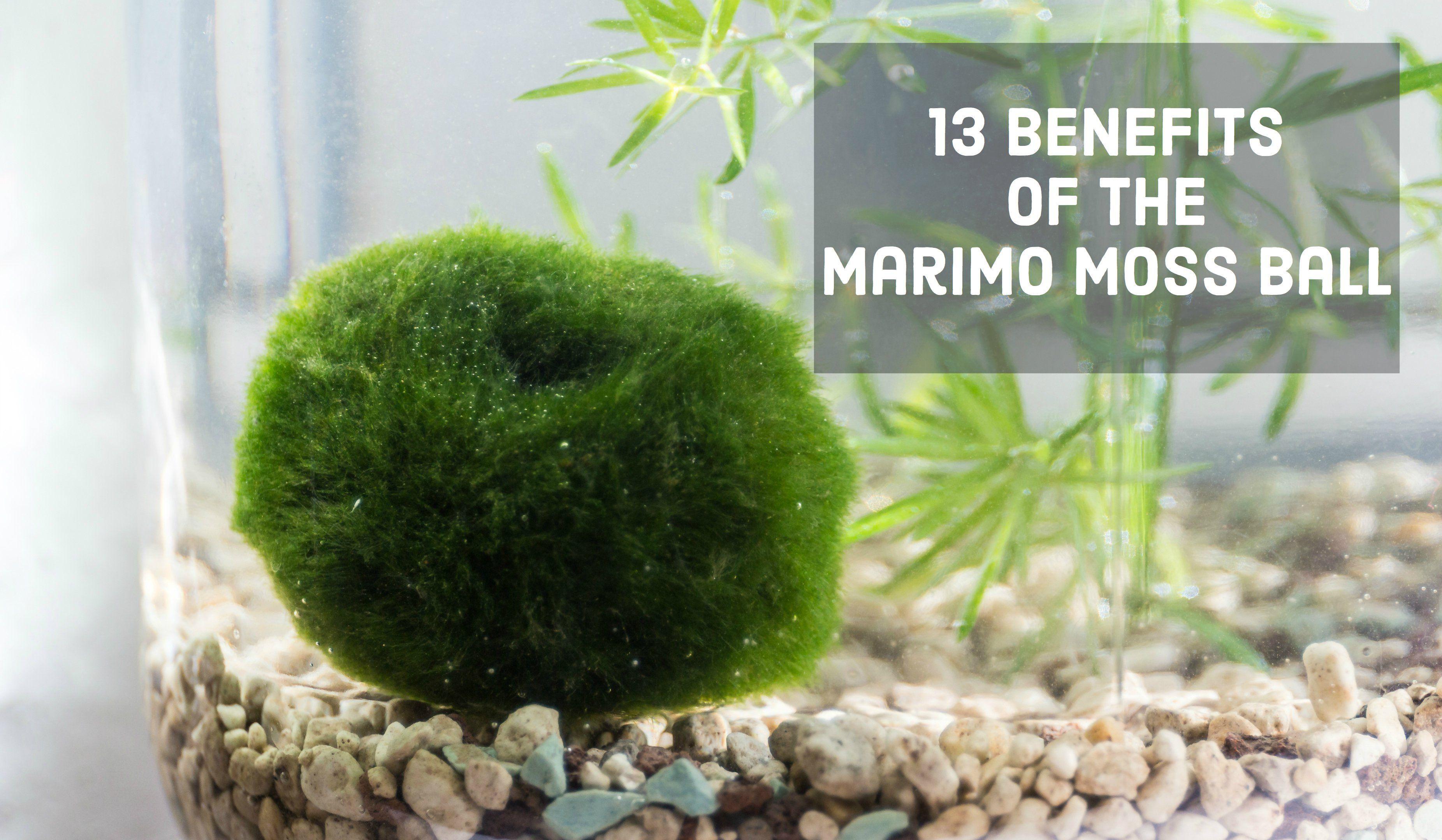 13 Benefits Of The Marimo Moss Ball Fish Marimo Moss