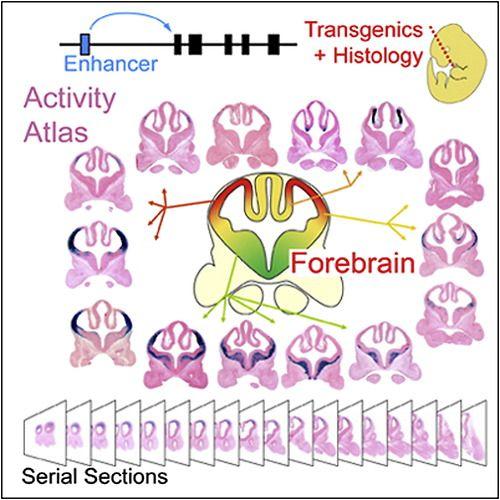 ☤ MD ☞ ☆☆☆ Genome-wide Atlas of Gene Enhancers in the Brain On-line.