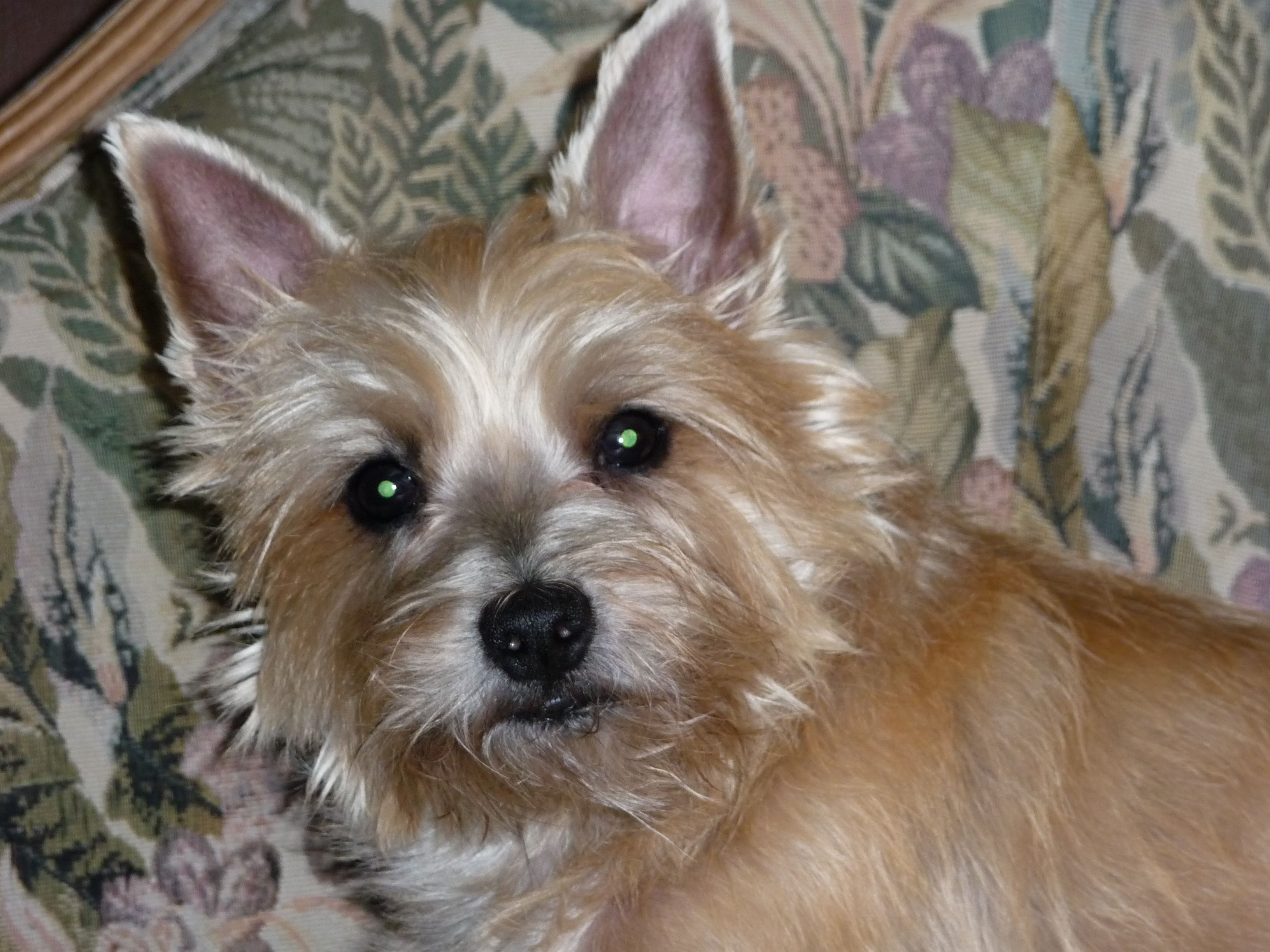 Rusty Carin Terrier Omg A Stanny Look Alike Wow Terrier Rescue