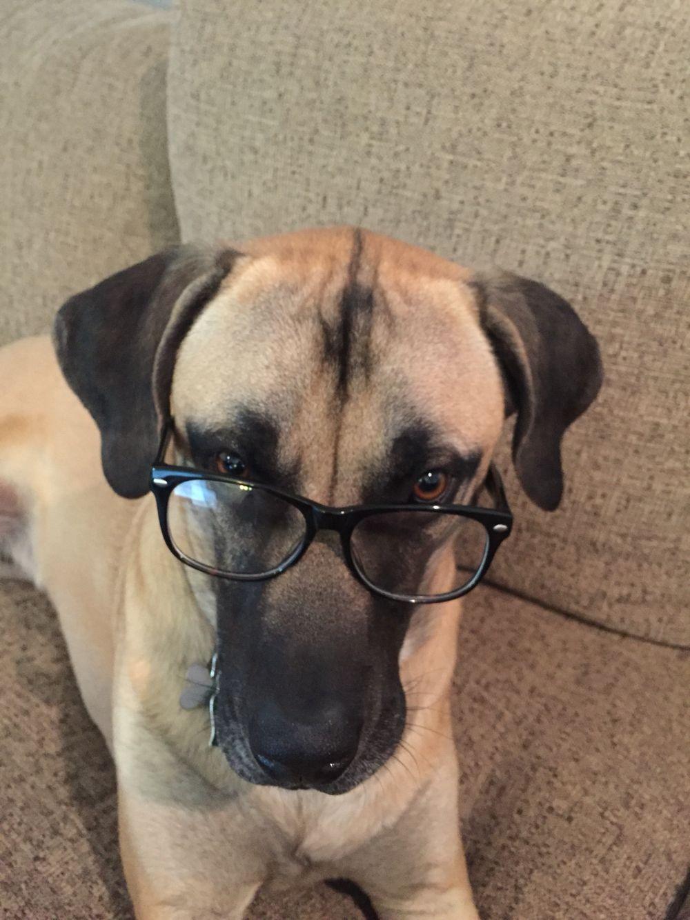 Boxer Lab Mix Puppy For Sale Ideas