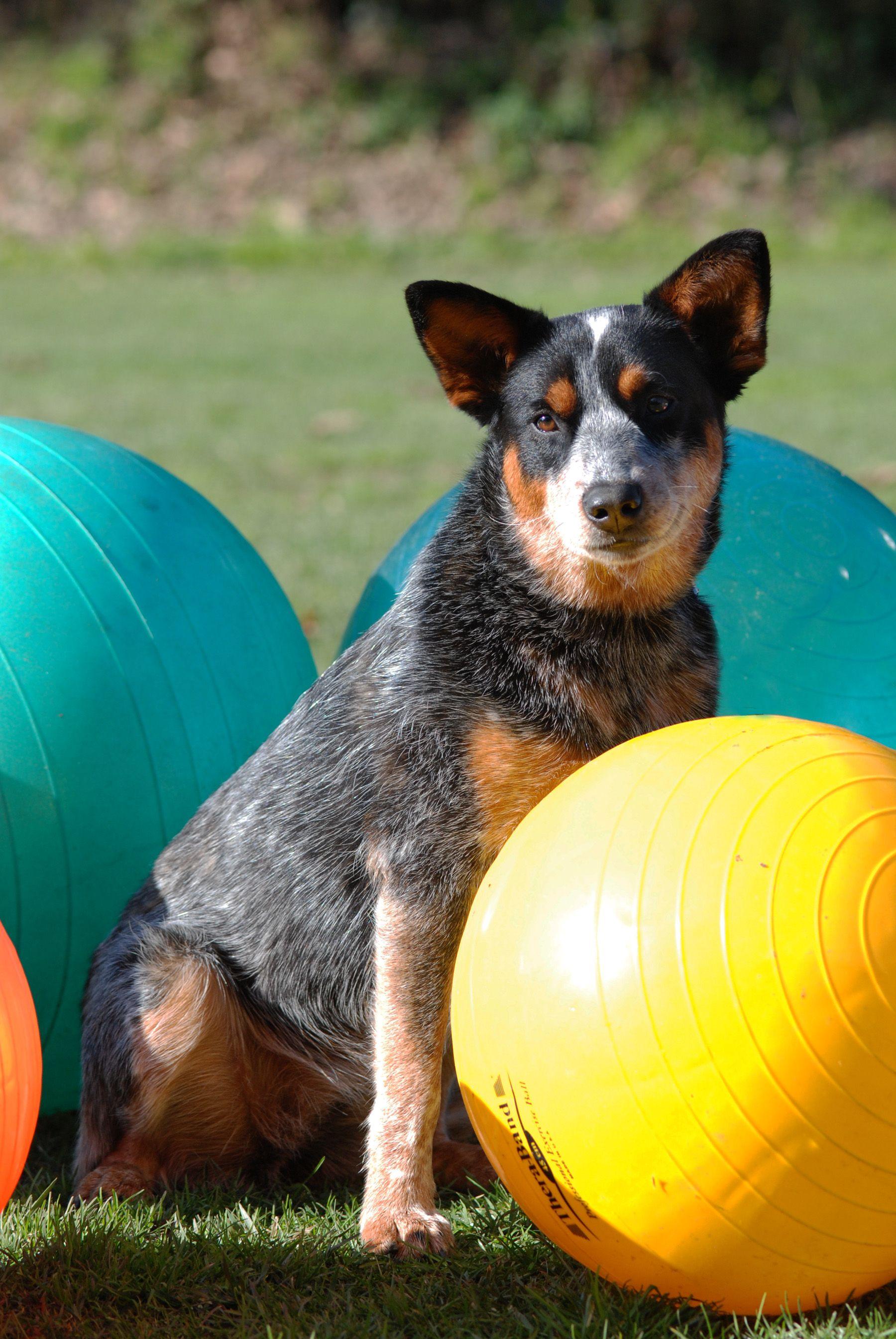 Hund beim Treibball