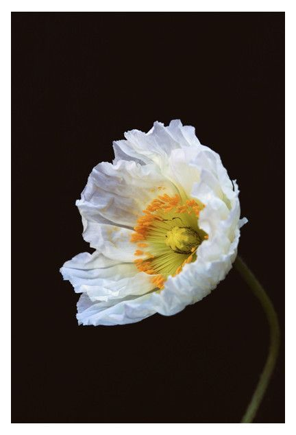Papaver Nudicaule - Fine Art Photograph