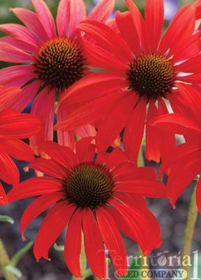 Reddest Echinacea Yet With 5 Inch Blooms Perfect For A Red White And Blue Garden Planting Flowers Plants Perennials