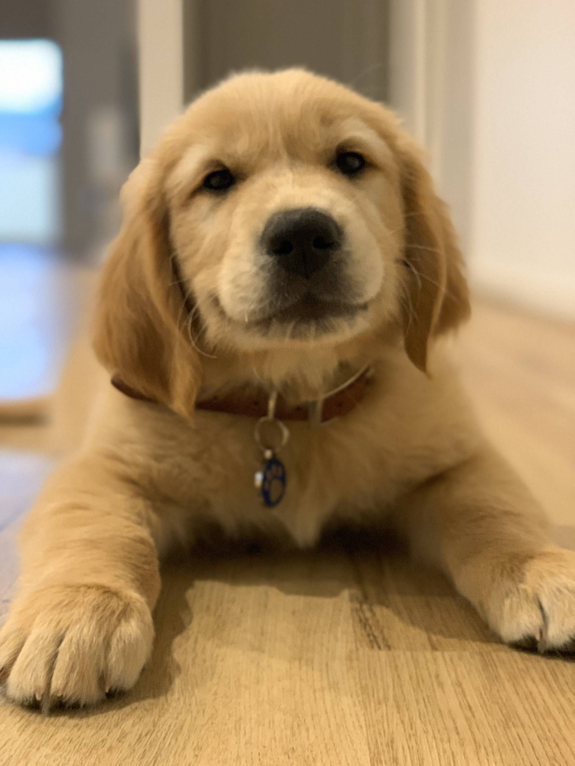 The Newest Addition To Our Family Meet Finn In 2020 Cute Dogs And Puppies Dogs Golden Retriever Cute Dogs