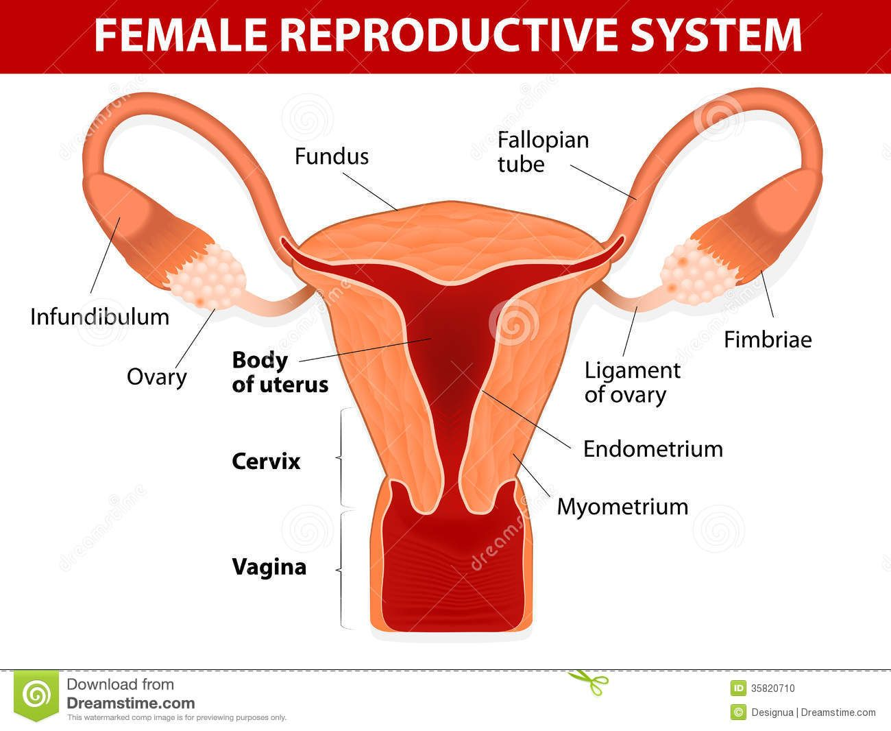 Image Of Female Reproductive System Diagram Human Anatomy Drawing