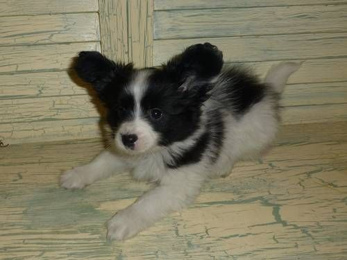 Papillon Akc Male Puppy Black White See Him On My Ebay Ad And Website Www Tejastlittlecutiechihuahu Papillon Puppy Dogs And Puppies Papillon Puppies For Sale