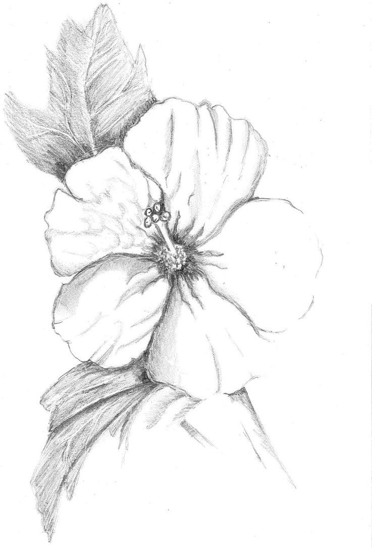 Pin By Kylie Healy On Flower Sketches Flower Sketches Hibiscus