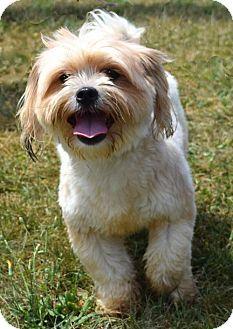 Westampton, NJ Shih Tzu/Yorkie, Yorkshire Terrier Mix