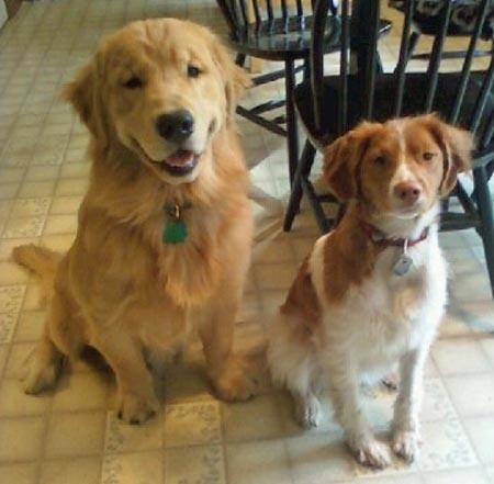 Bruin The Golden Retriever Brittany Dog Retriever