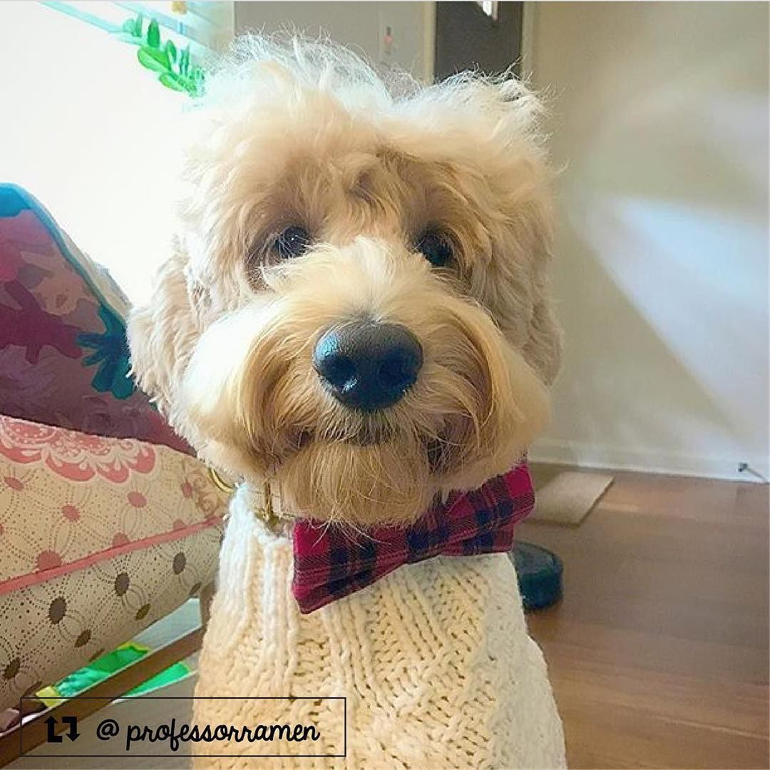 Professor Ramen The Goldendoodle From Austin Tx Goldendoodle