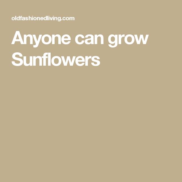 Anyone can grow Sunflowers
