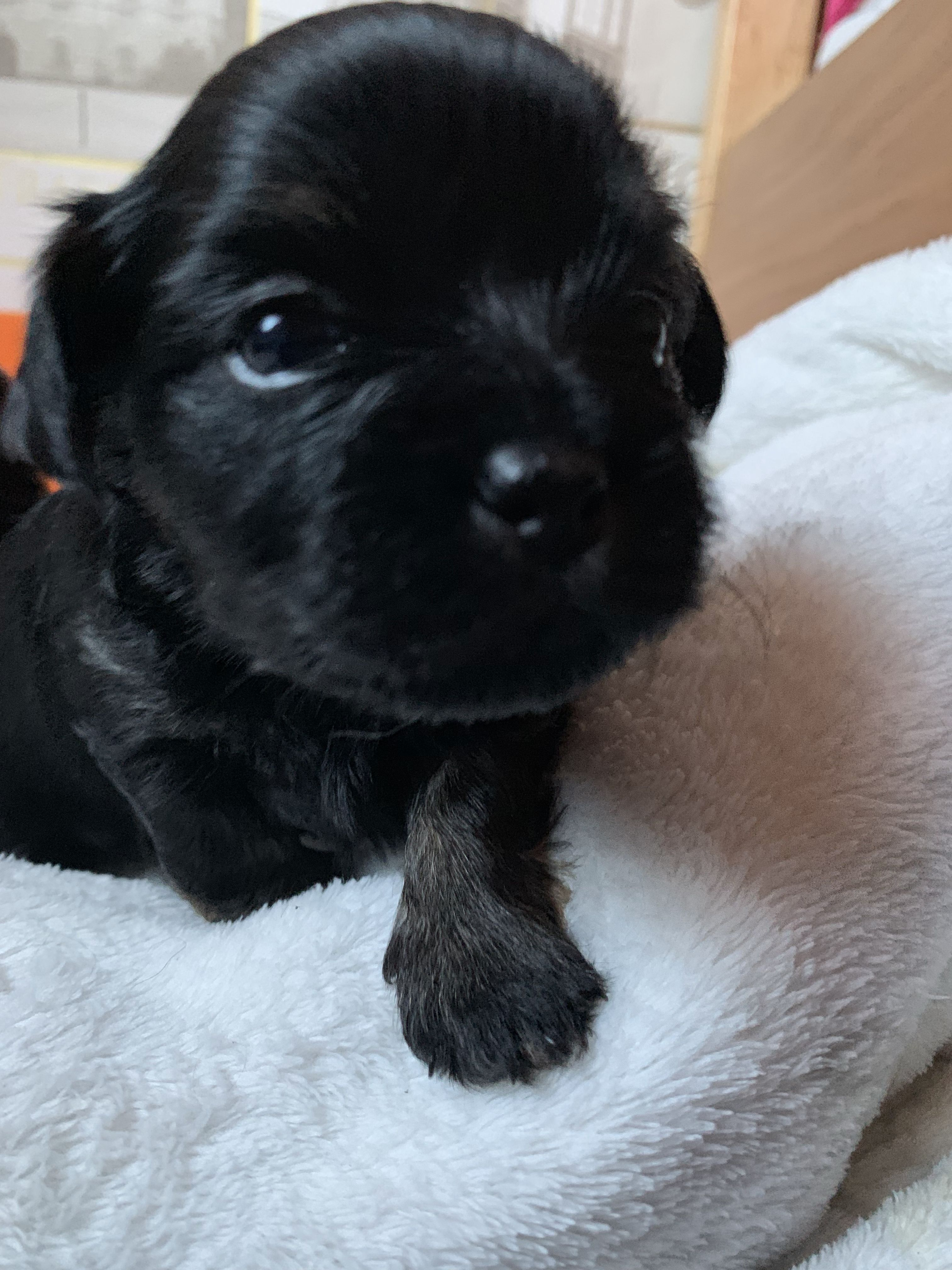 Baby Puppy S Shihtzu Chihuahua X Cute Puppy Adorable Pup