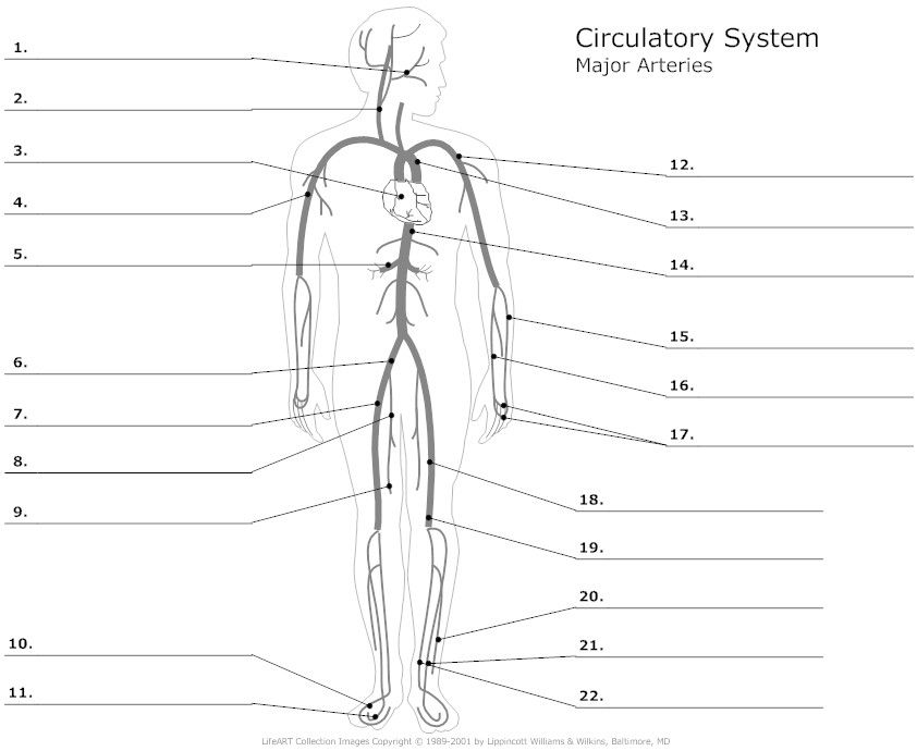 Major Arteries Of The Body Unlabeled Example Smartdraw Anatomy And Physiology Circulatory System Anatomy