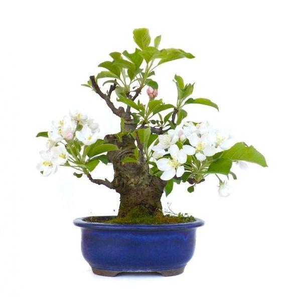 votre professionnel du bonsa en ligne vous pr sente ce bonsai pommier malus cerasifera de 45 cm. Black Bedroom Furniture Sets. Home Design Ideas