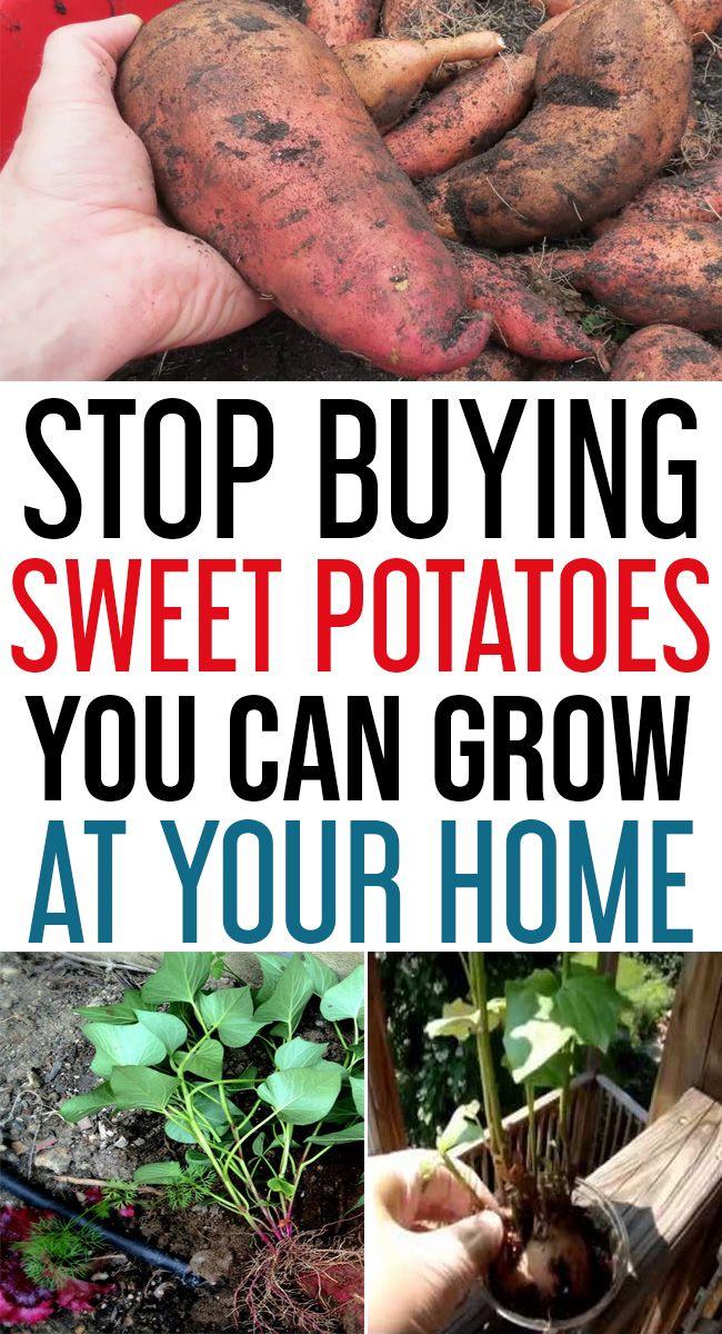 How To Grow Sweet Potatoes In Your Garden Growing Sweet Potatoes Sweet Potato Plant Potato Planters