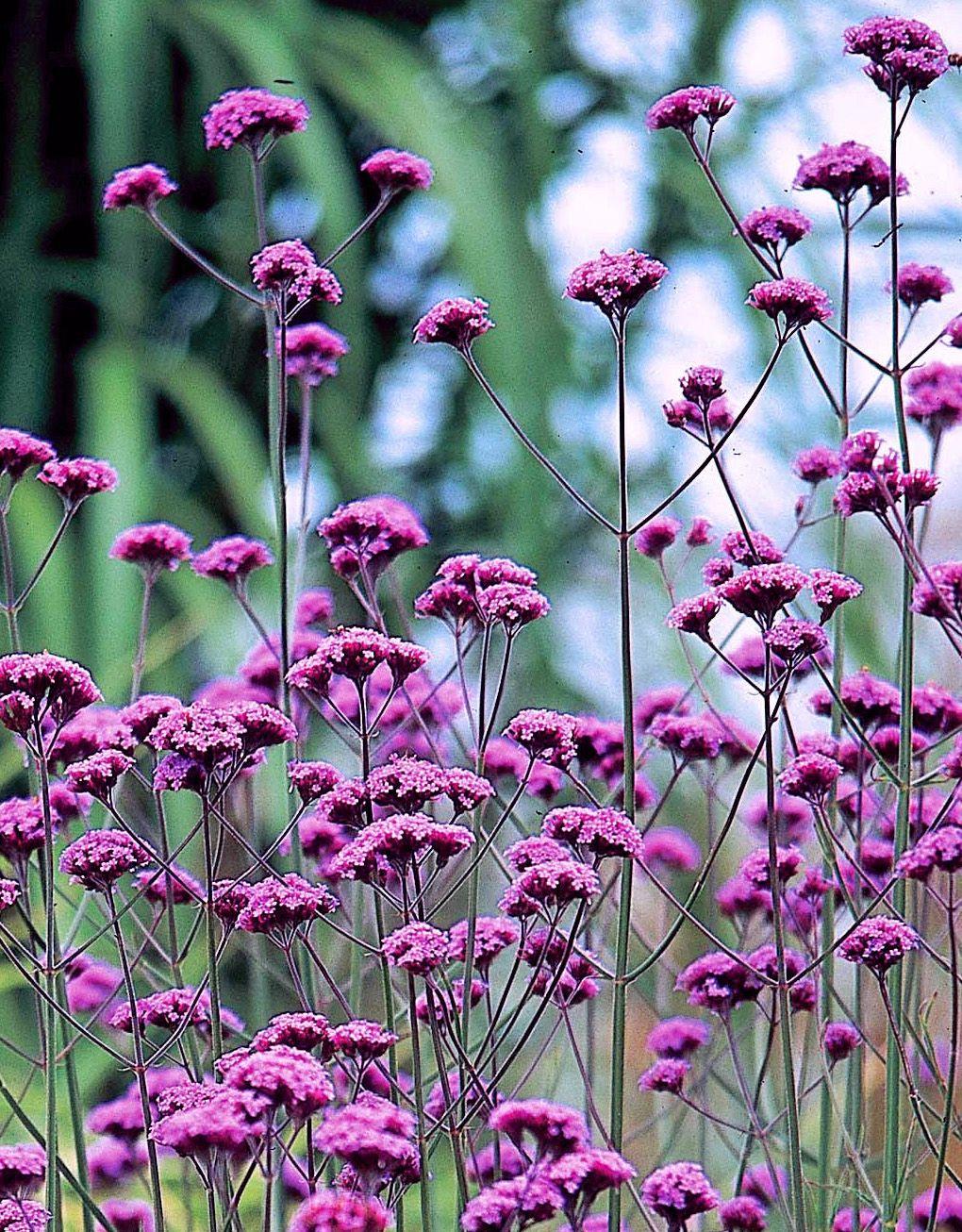 Verbena Bonariensis Verbena Bonariensis Is A Tall And Long Flowering