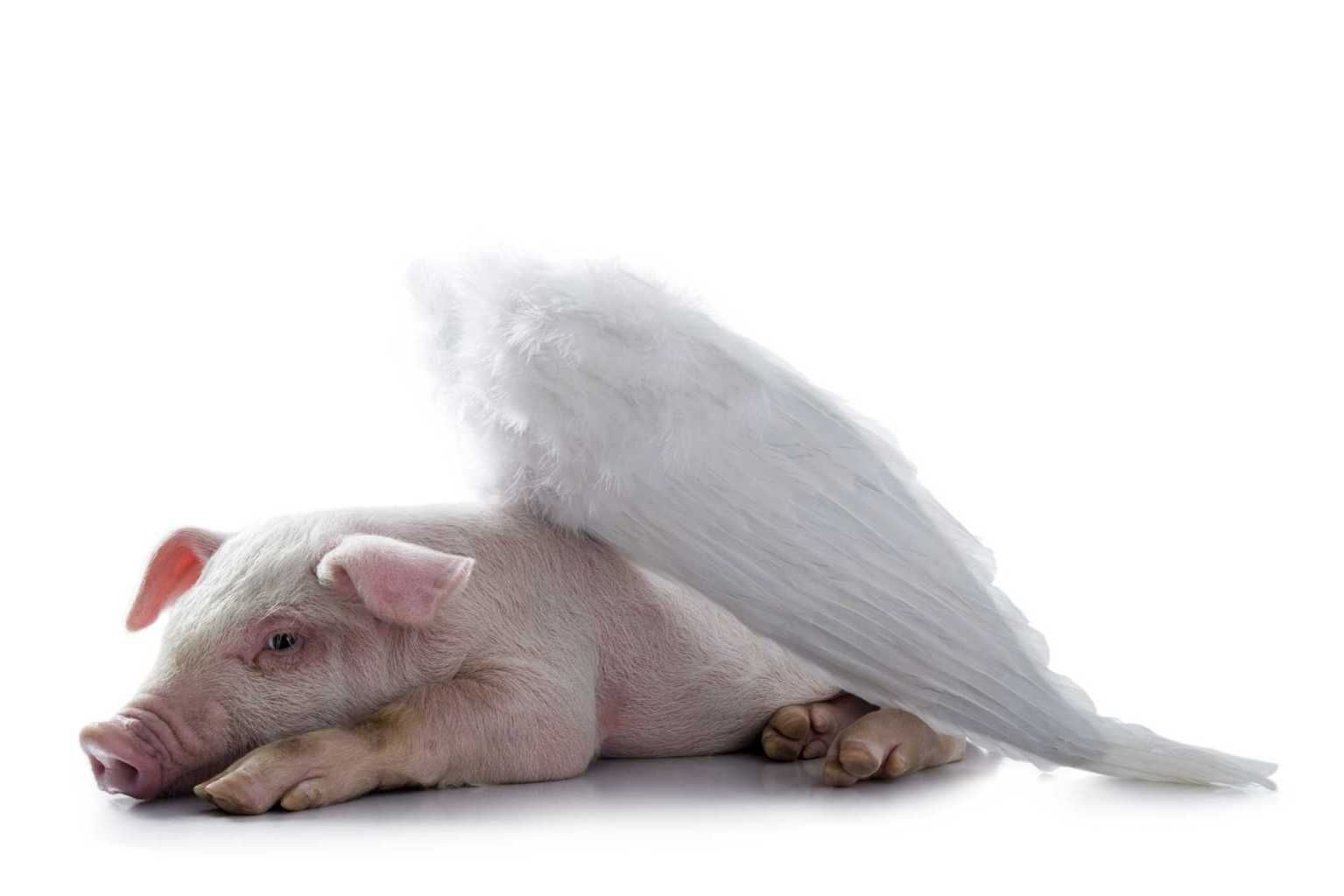 Image Detail For Pig With Wings Lying Down