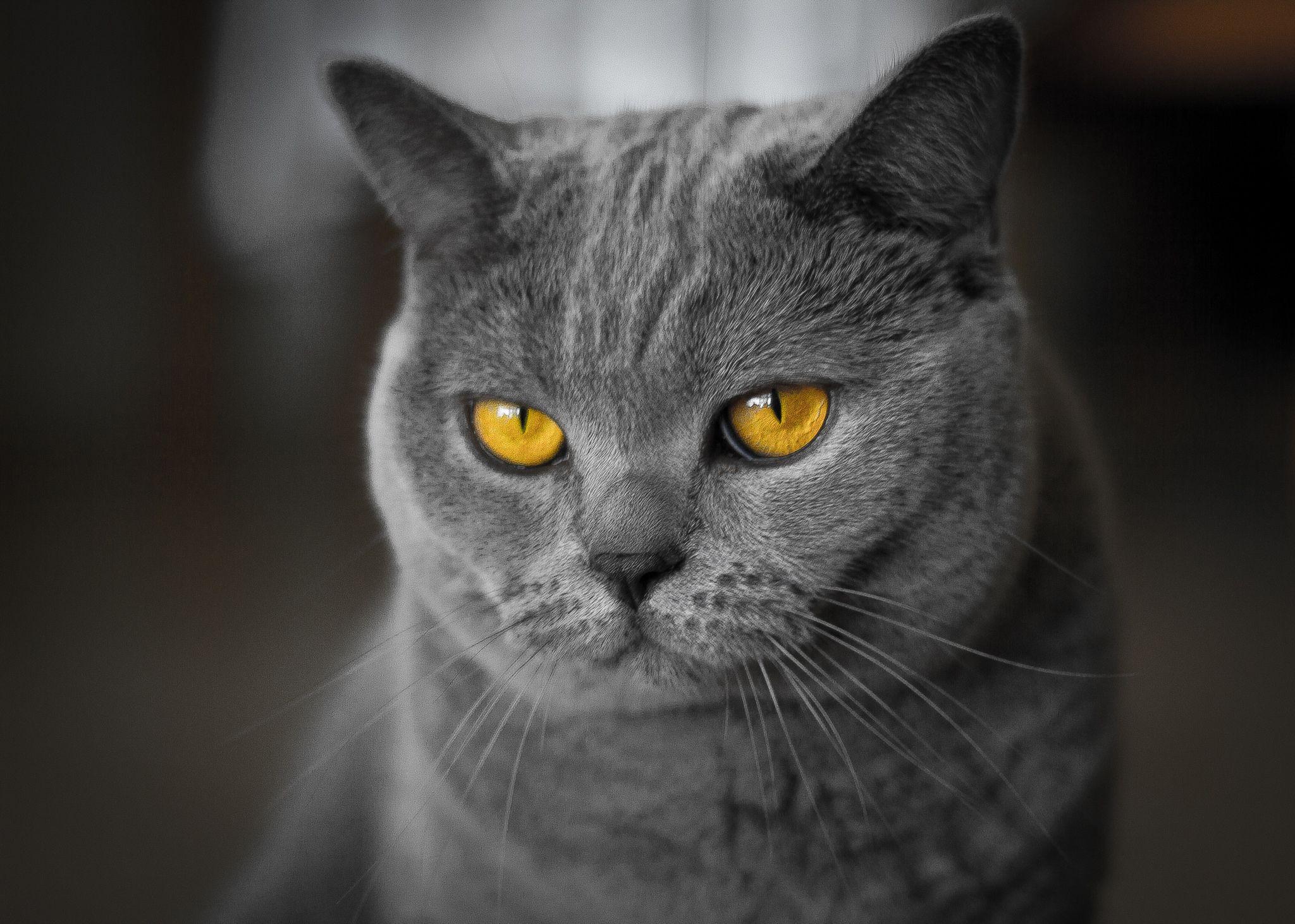 Very Serious British Cat ;) Cats, British shorthair