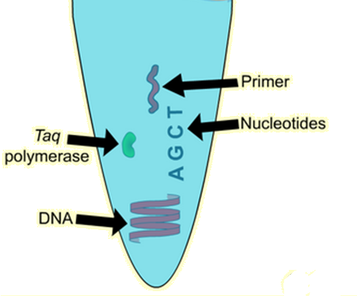 Pcr stand for polymerase chain reaction requirements steps pcr stand for polymerase chain reaction requirements steps involved and application ccuart Gallery