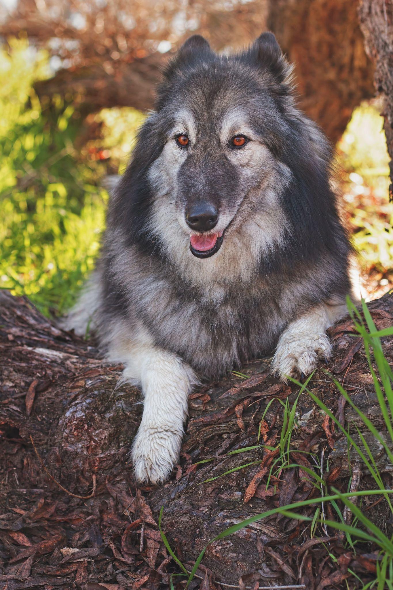 German Shepherd Alaskan Malamute And Wolf Hybrid Wolf Dog