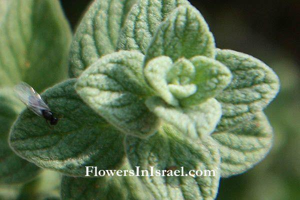 Majorana syriaca origanum syriacum wild marjoram syrian for Plante zaatar