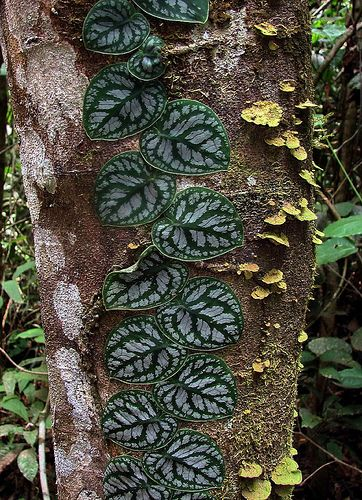 Monstera dubia/Shingle Plant/Penanola | Plants, Unusual ...