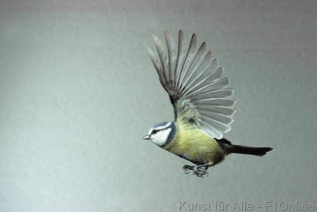 Skonieczny F1 Vogel Blaumeise Singvogel Meise fliegend