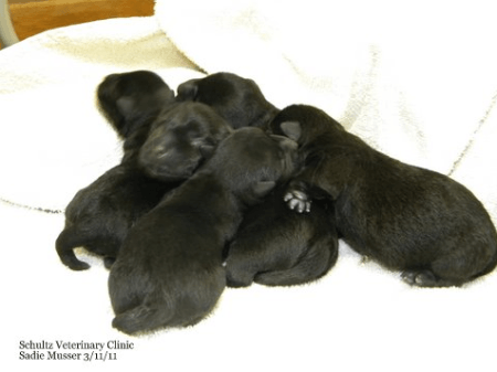 Westminster champ Sadie gave birth to five Scottish Terrier puppies