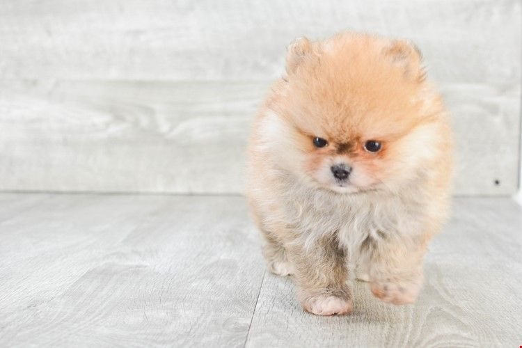White Teacup Cheap Pomeranian Puppies For Sale In Usa And Canada Pomeranian Puppy For Sale Pomeranian Puppy Puppies