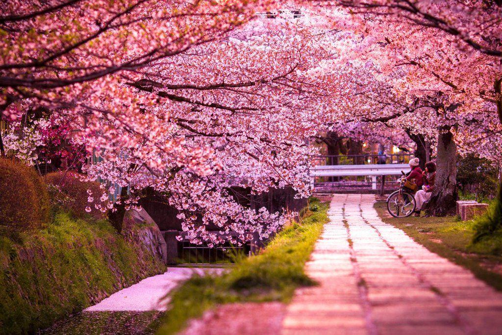 Ramon On Twitter Beautiful Streets Cherry Blossom Festival Blossom Trees