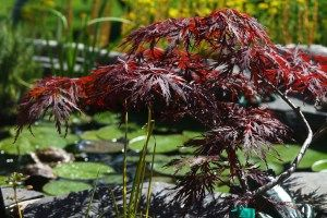 Lacy Leaf Maple works well by pond area