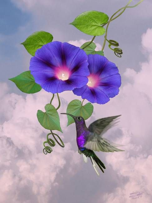 Morning Glory And Violet Hummingbird By I M Spadecaller In 2020 Blue Flower Art Morning Glory Flowers Birds Of Paradise Flower