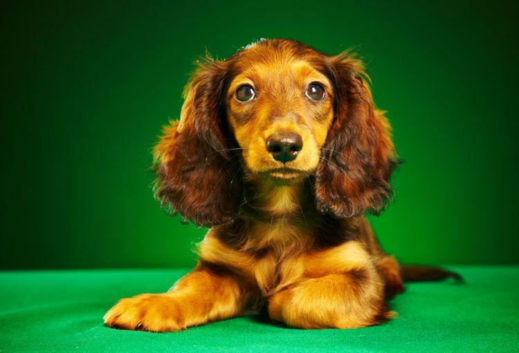 Breed Spotlight Dachshund Canine Breed Information Etc