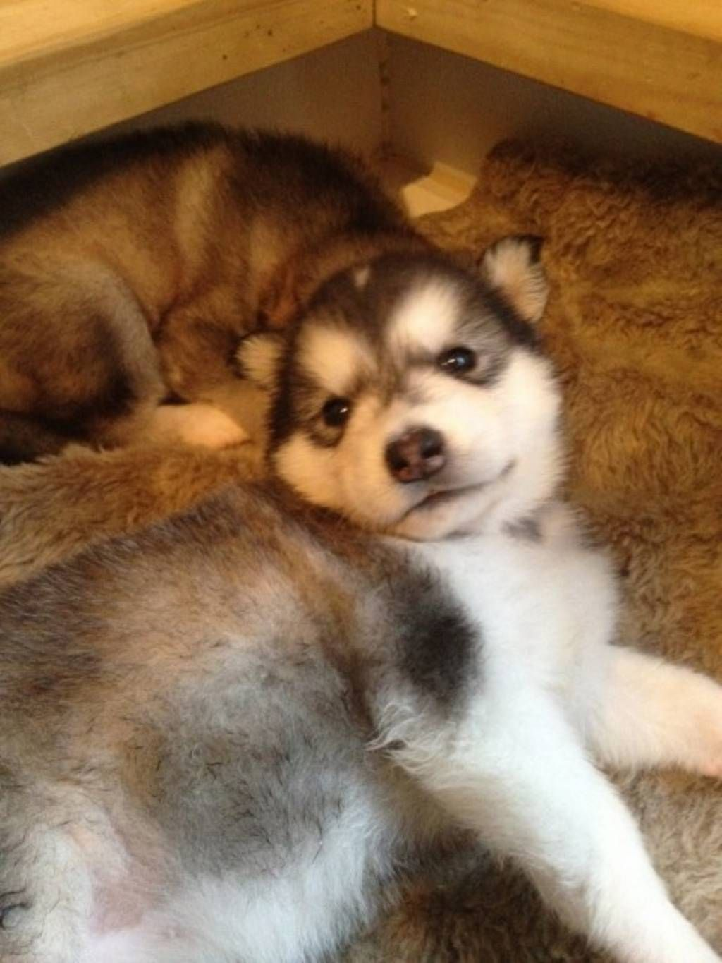 Alaskan Malamute Puppies For Sale Always Admire The Pug Puppies