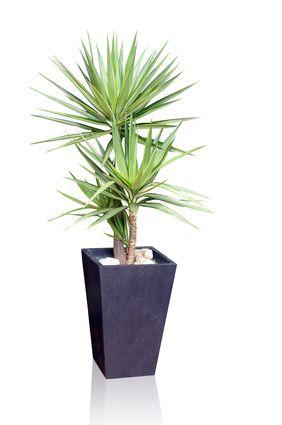 yucca tous les conseils d 39 entretien plantes et v g tation plantes et fleurs artificielles. Black Bedroom Furniture Sets. Home Design Ideas